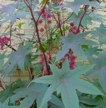 Castor Bean Plants