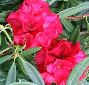 Rhododendron poisen