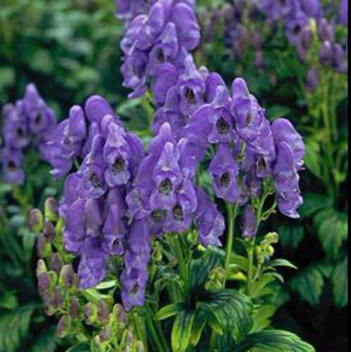 monkshood_poisen