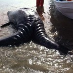 Two-Headed Whale on Californian Beach – Fukishima To Blame?